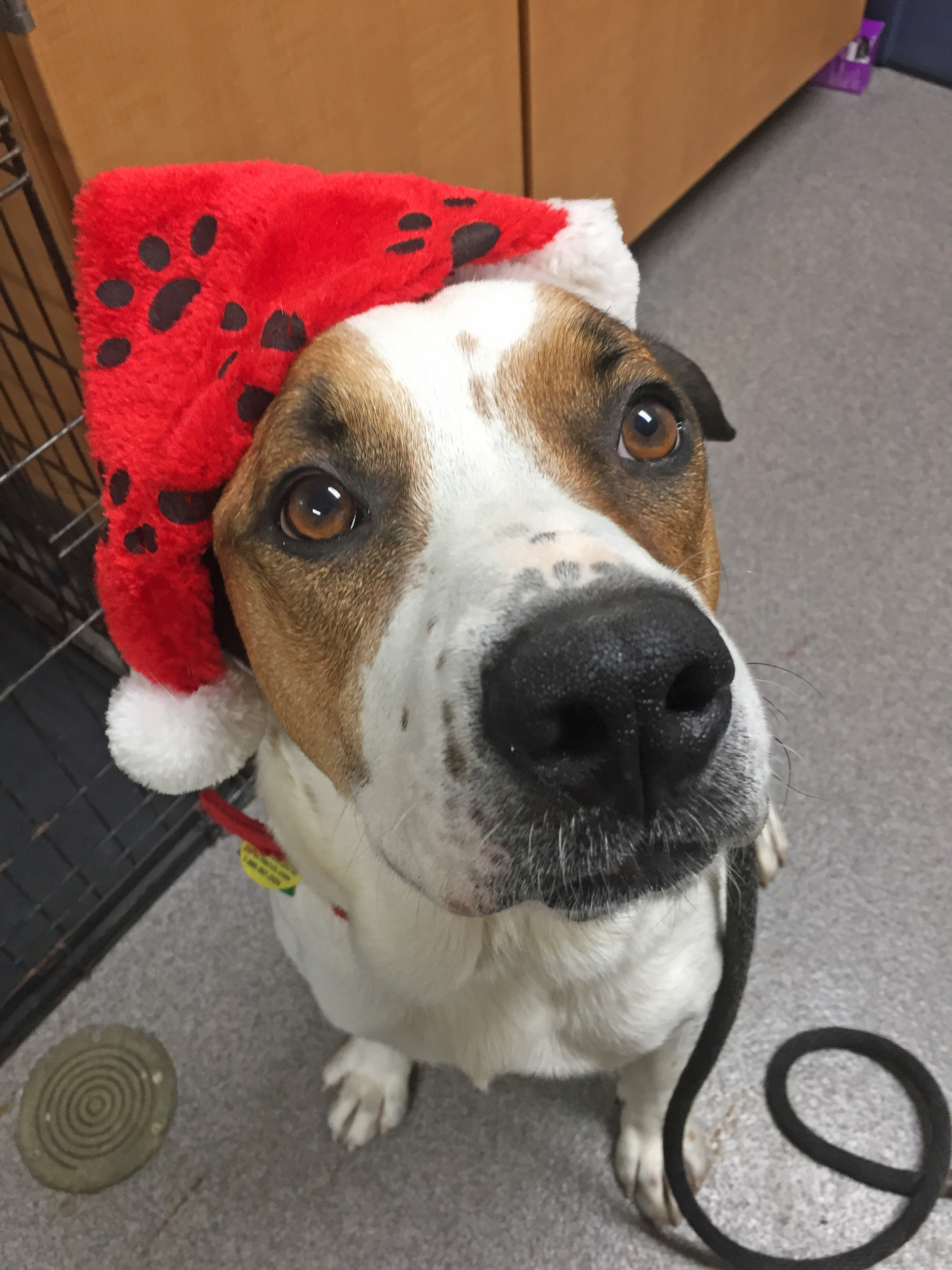 Attached is a picture of Atlas who has been at the Chautauqua County Humane Society since September 28th, 2019. He is a lovable 2 year old looking for a home. The Photo was taken by Brian Papalia.