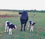 A cow and calves from the Wheel Horse Farm, Ripley N.Y.