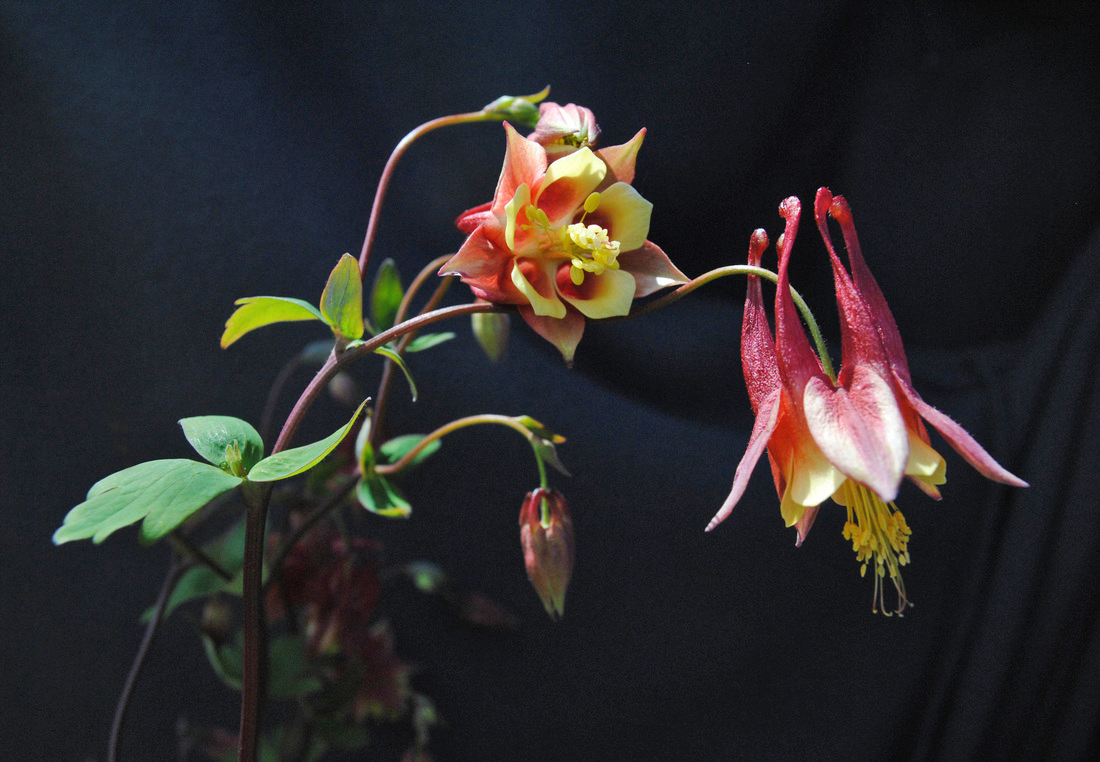 """Audubon Community Nature Center's Little Explorers will """"Walk on the Wildflower Side"""" online on Saturday morning, May 9. This photograph of a Wild Red Columbine by Rocky River, Ohio, photographer Alex Lenhart was a finalist in a previous Audubon Nature Photography Contest. (For information on this year's photo contest visit ACNCPhotoContest.com"""