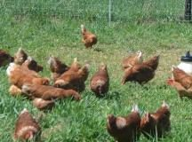 These Golden Buff chickens are at home on Toboggan Hill Farm near Westfield, N.Y. CSA shares of the farm's harvest can be picked up weekly at Audubon Community Nature Center.