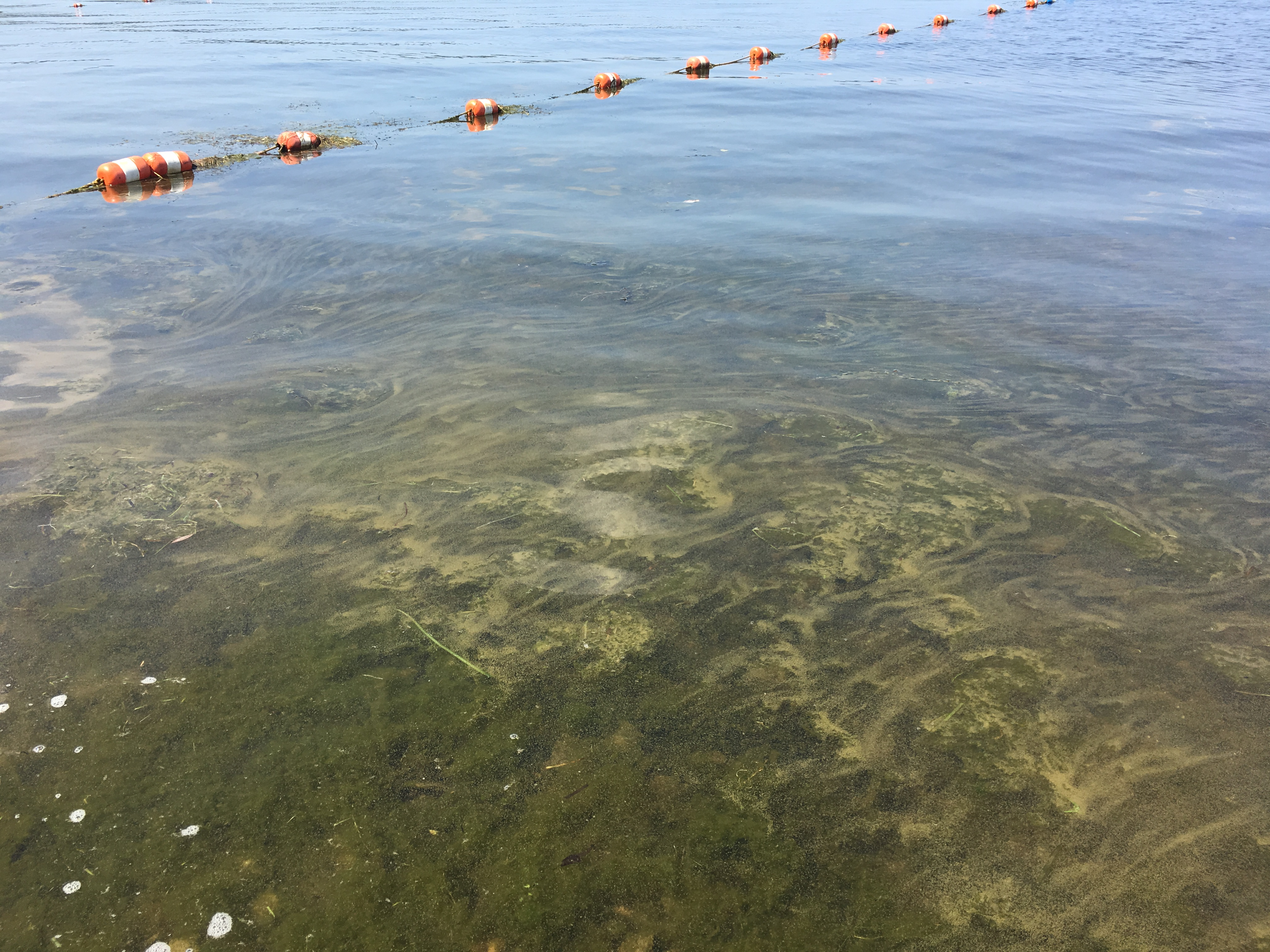 A bloom on Chautauqua Lake in the early stages. This bloom cleared and returned depending on weather conditions.
