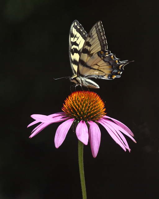 Audubon Community Nature Center's Little Explorers will learn about butterflies on Saturday morning, July 11. This photograph of an Eastern Tiger Swallowtail Butterfly by Panama, N.Y., photographer Suzette Paduano was a finalist in an Audubon Nature Photography Contest. (For information about this year's photo contest visit ACNCPhotoContest.com)