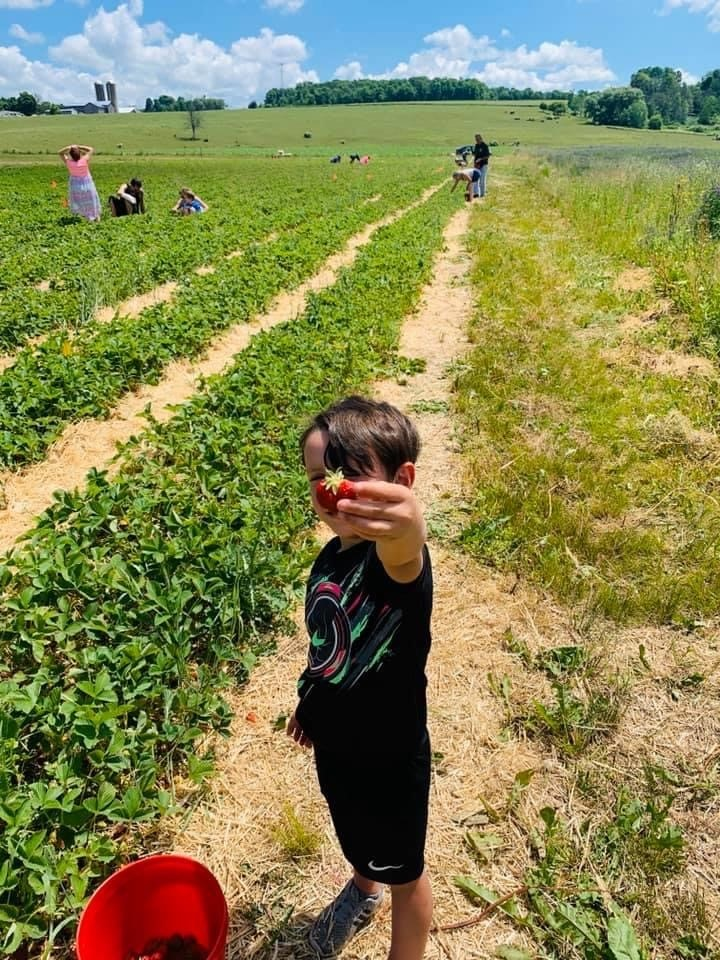 John LaMancuso participating in pick your own strawberries.  Photo by the LaMancuso Family.