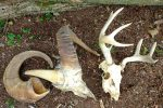 One horn from the skull of an Alaskan Dall Sheep (left) has been removed to show the boney core. On the skull of a Sitka blacktail deer (right, also from Alaska) both antlers are branched. The buck died before shedding them, so they remain attached to the skull. Both were found after the winter snows melted.