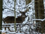 If you don't see deer at this time of the year, you're not looking. And if you see a buck and does are around, he'll likely be very reluctant to leave.