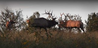 """Conservation education staff from the Keystone Elk Country Alliance will present """"Pennsylvania Elk"""" virtually at Audubon Community Nature Center's First Friday on December 4."""