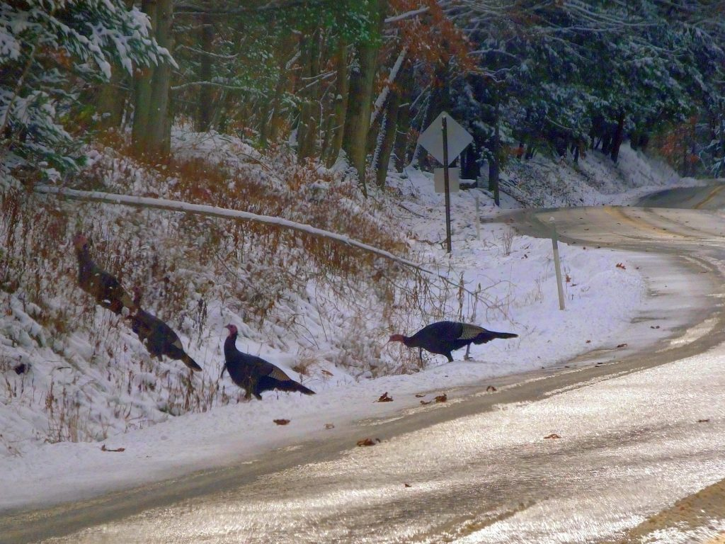 When you find turkeys, and snow is on the ground, go chase Thanksgiving dinner.