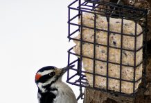 Feeding and watching birds, like this male Hairy Woodpecker, can bring optimism to our days and introduce young people to the natural world. Friday, January 29, is the deadline for ordering birdseed and related treats from Audubon Community Nature Center's Winter Birdseed Sale. You can also get a discount on all merchandise in Audubon's Blue Heron Gift Shop when you pick up your order.